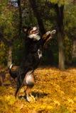 dog play Στοκ Εικόνες