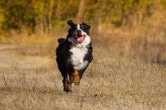 dog play Royaltyfri Bild