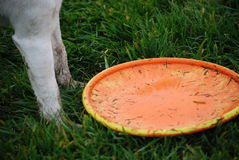 Obedient dog. Close up of an orange frisbee next to legs of a white dog on a wet green grass. Obedient dog responding to leave it command Royalty Free Stock Image