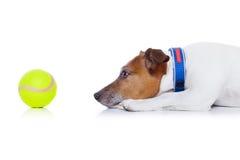 Dog play ball Stock Image