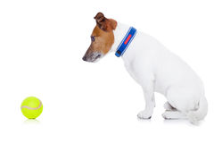Dog play ball Stock Photography