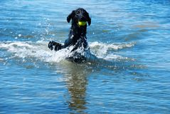 Dog Play With Ball In Water Copy Space Stock Photo