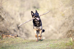 Dog play with branch and train to retrieve Royalty Free Stock Photo