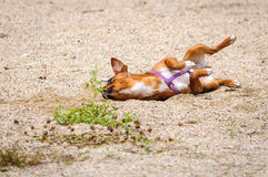 Chihuahua dog play funny Royalty Free Stock Images