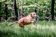 A dog at play Royalty Free Stock Photography