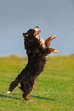 Dog play outdoor Stock Photography