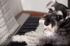Dog play the piano? Royalty Free Stock Image