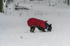Dog play in snow in a heavy snowy day. Dog play in the park in a heacy snowfall Royalty Free Stock Images