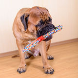 Dog play with toy Royalty Free Stock Photo