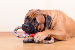 Dog play with toy Stock Images