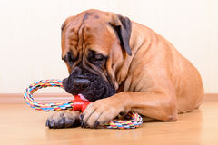 Dog play with toy Royalty Free Stock Images