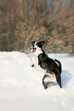 Dog play in winter Royalty Free Stock Images