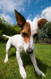Dog playing. Jack russell playing on the grass Royalty Free Stock Photo