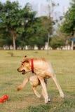 Dog playing Royalty Free Stock Photos
