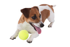 Dog is playing Stock Images