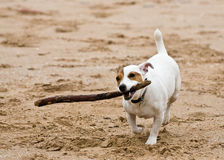 Dog playing Royalty Free Stock Image
