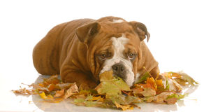 Dog playing in autumn leaves Stock Image