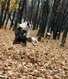 Dog playing with autumn leaves stock photo