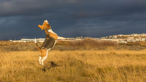 A dog playing in the autumn sun. A dog jumping and playing in a field as the sun sets low during a cold autumn day Stock Photo