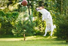Dog playing at backyard jumping and catching rugby ball. Jack Russell Terrier dog jumps high royalty free stock photo