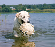 Dog playing with a ball Stock Photography
