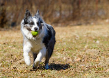 Dog playing with ball Royalty Free Stock Photo