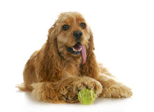 Dog playing ball Royalty Free Stock Photography