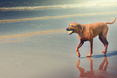 Dog playing with ball. At beach royalty free stock photos