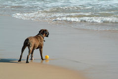 Dog playing the ball in beach stock photography