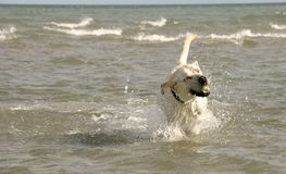Dog playing with ball at the beach Stock Photography
