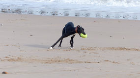 Dog. Playing ball at the beach Aberdeen Scotland Royalty Free Stock Photography