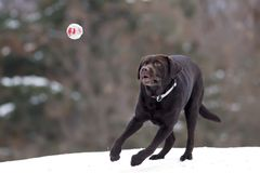 Dog playing with a ball. The brown Labrador dog playing with ball on snow royalty free stock image
