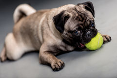 Dog playing with a ball Stock Photos