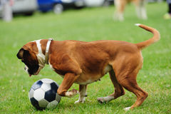 Dog playing with ball Royalty Free Stock Image
