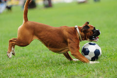 Dog playing with ball Stock Images