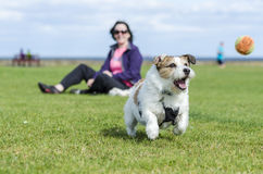 Dog playing ball. A happy owner watching dog play ball royalty free stock photos