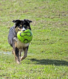 Dog playing with ball Stock Image