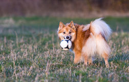 Dog playing with the ball. Dog (Icelandic Sheepdog) standing in middle of field holding a ball in the mouth stock photos