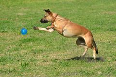 Dog playing with ball. A mixed breed athletic canine with attentive facial expression playing and jumping for a blue ball in a dog park outdoors royalty free stock photos