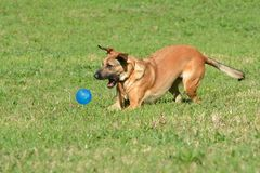 Dog playing with ball. A mixed breed athletic canine with attentive facial expression playing and jumping for a blue ball in a dog park outdoors royalty free stock image
