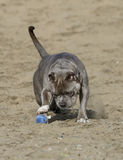 Dog playing with a ball in the sand Stock Images