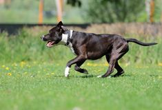 Lovely dog,American staffordshire terrier. Dog playing with a ball on the sidewalk is a funny situation royalty free stock photo