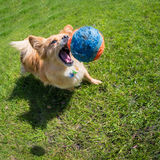 Dog playing at the ball Stock Photography