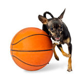 Dog playing ball - Toy terrier dog Royalty Free Stock Image