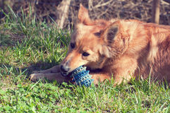 Dog playing with a ball in the yard. Stock Images