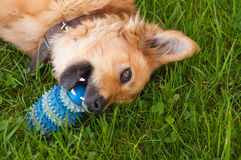 Dog playing with a ball in the yard. Basque sheepherd dog royalty free stock photography
