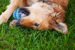 Dog playing with a ball in the yard. Basque sheepherd dog Stock Photography