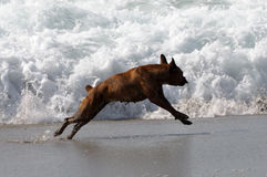 Dog playing on the beach Stock Photos