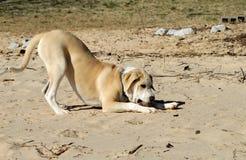 Dog playing on beach Stock Photo