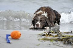 Dog playing at the beach Royalty Free Stock Images